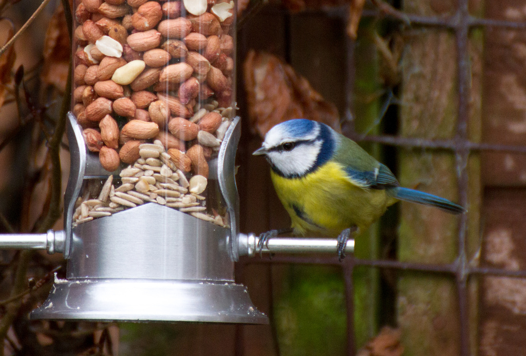 Day 34 - Blue Tit by snaggy