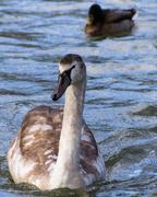 3rd Feb 2013 - adolescent swan