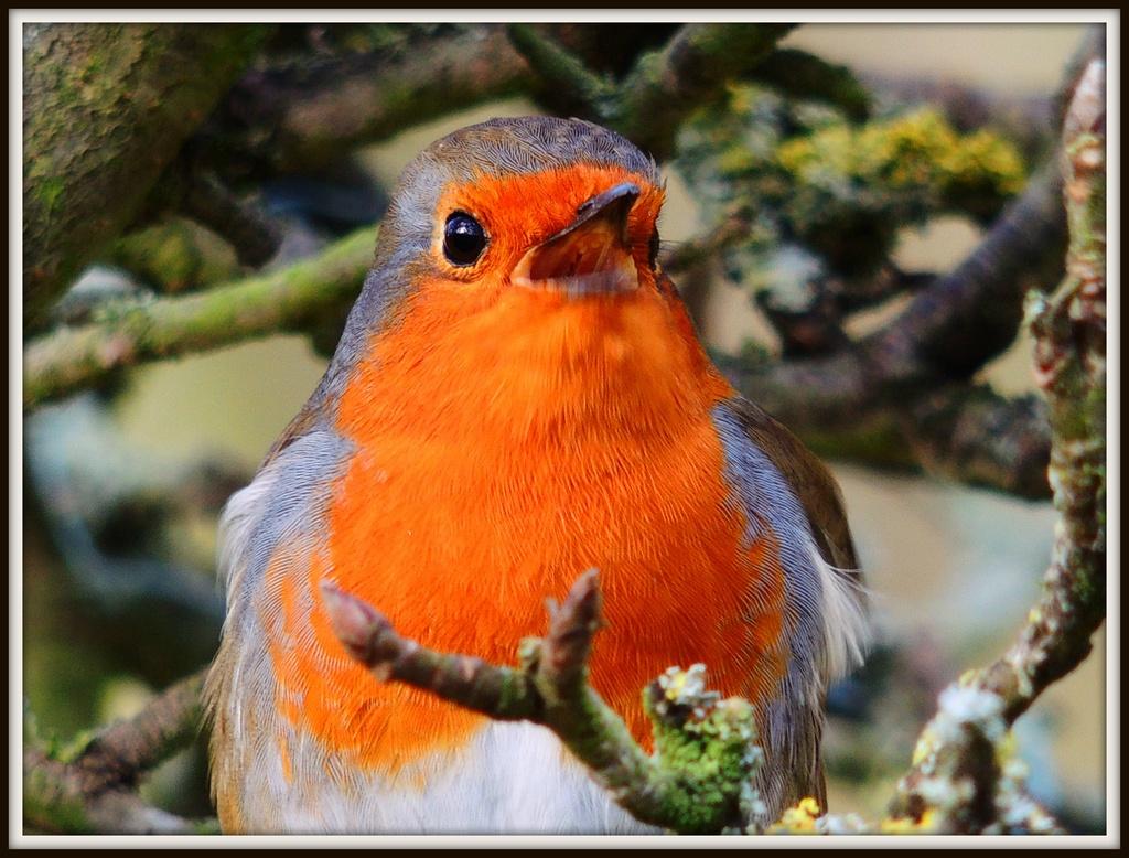 039 Robin by rosiekind