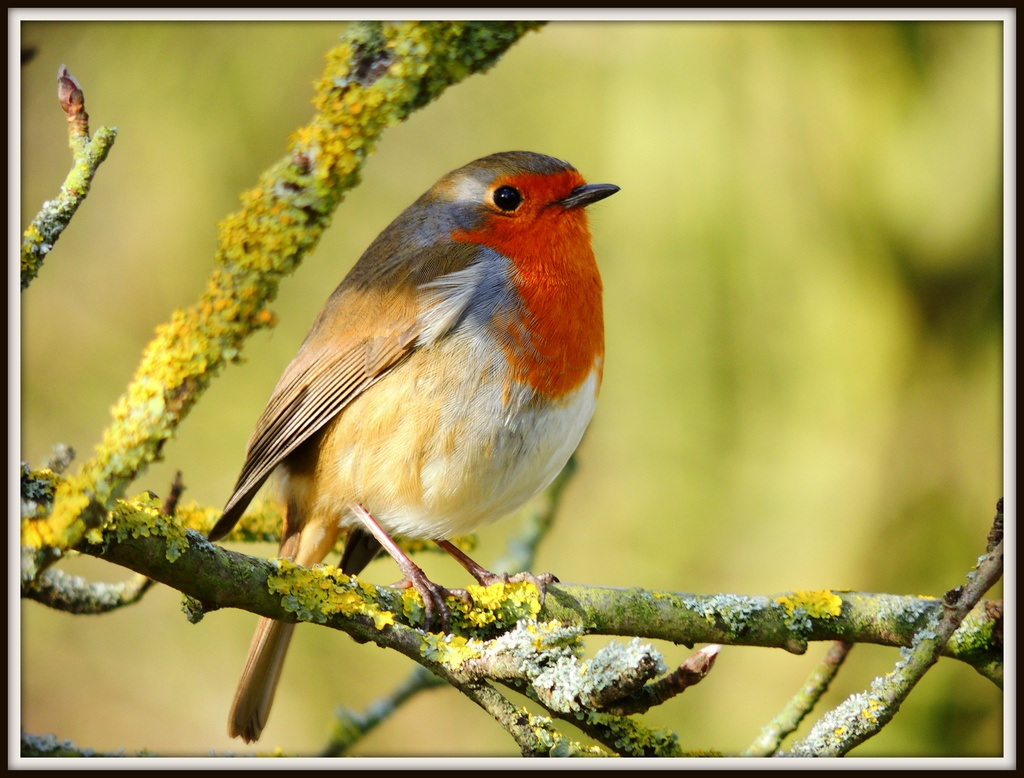 053 Another robin by rosiekind