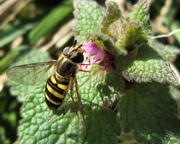 5th Feb 2013 - A Hover Fly!