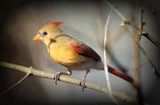12th Jan 2013 - Female Cardinal