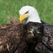 Eagle Portrait  by jgpittenger