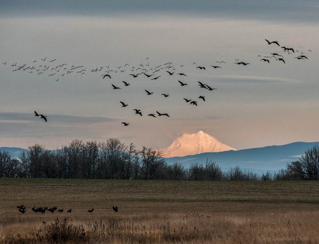 Geese Flying in the Late Afternoon Light  by jgpittenger