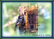 13th Jan 2013 - Chickadee