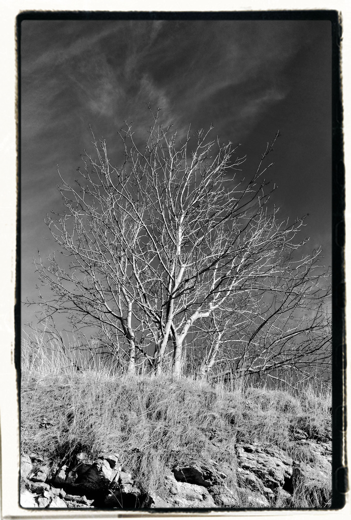 Quarry Tree Winter Sun Red Filter ( please view large) by paul2782