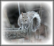 16th Jan 2013 - Squirrel Bath