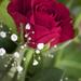 Rose by sugarmuser