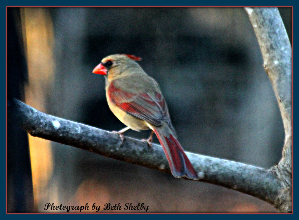 Female Cardinal by vernabeth