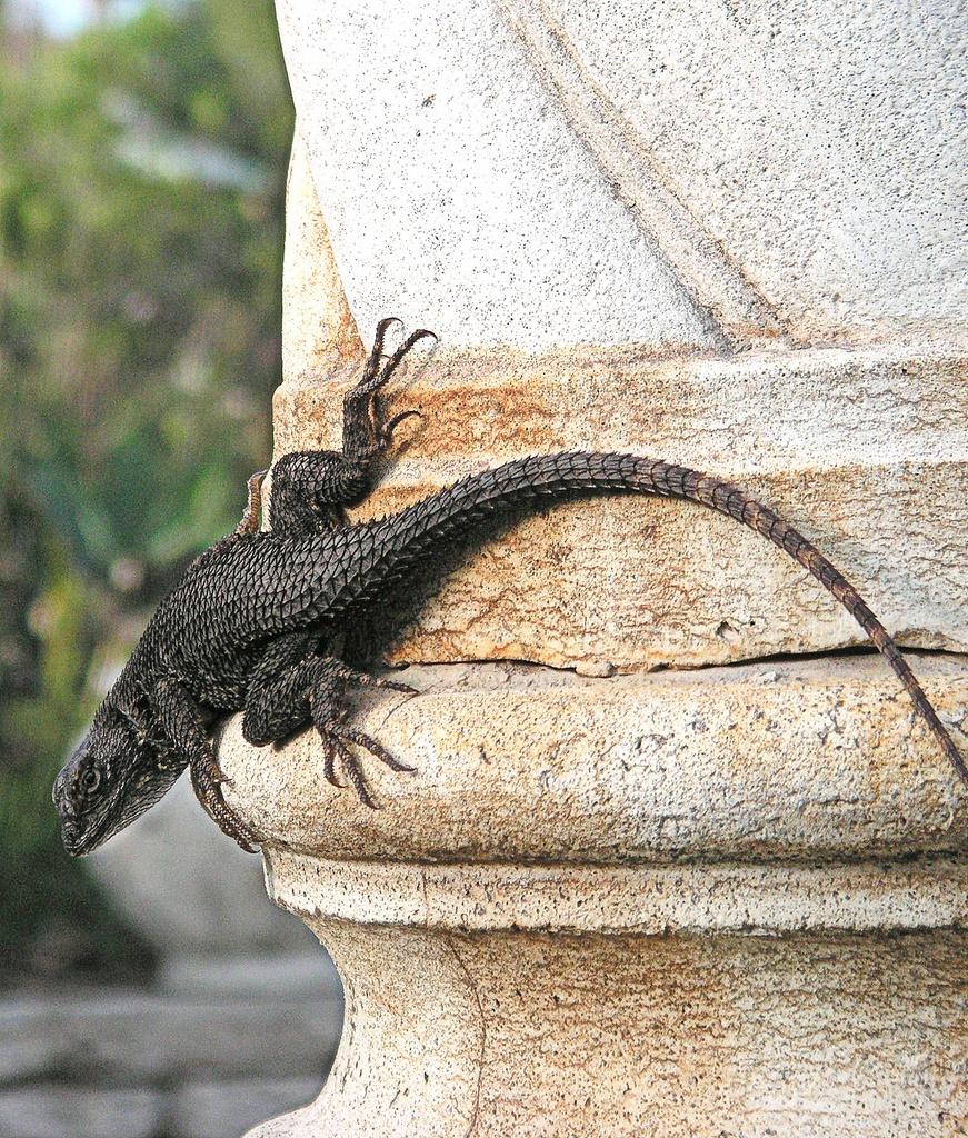 Lizard on a Column, Two by pasadenarose