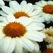 Daisy Daisy by denisedaly