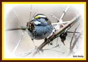 20th Jan 2013 - White Throated Sparrow