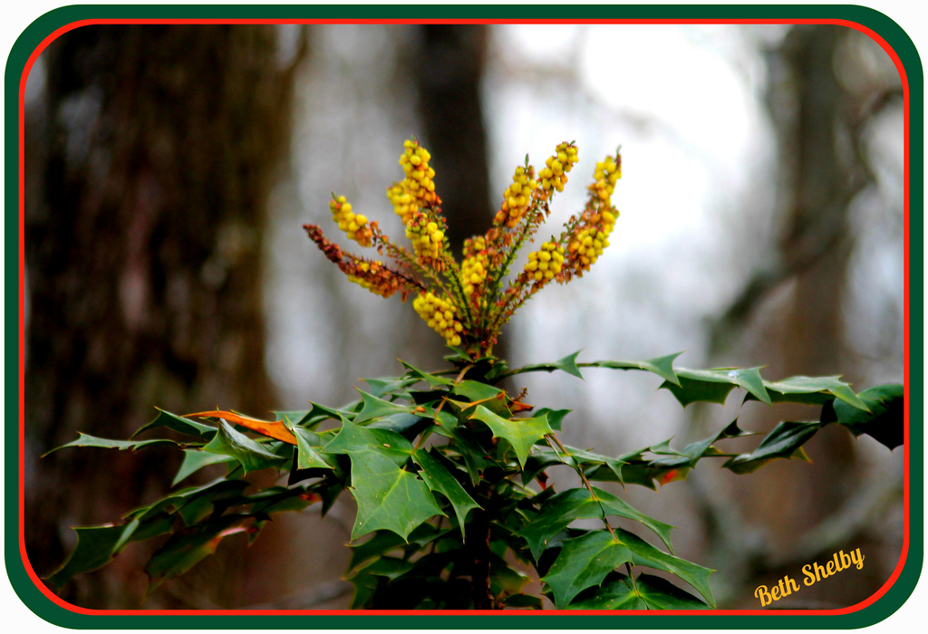 Another View of the Leather Leaf Mahonia by vernabeth