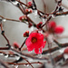 Icy Japonica by milaniet