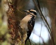 22nd Feb 2013 - Ms Hairy Woodpecker