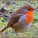 035 Robin by rosiekind