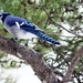 Blue Jay by bruni