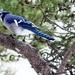 Blue Jay by bruni