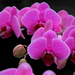 More Orchids by jankoos
