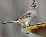 25th Feb 2013 - Female White-crowned Sparrow