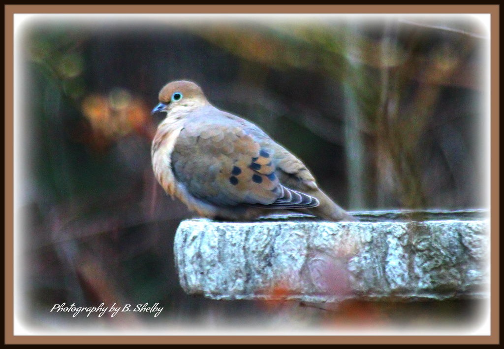 Dove on Fountain by vernabeth