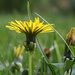Yellow dandelions by mittens