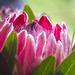 protea by corymbia