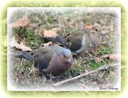 8th Feb 2013 - Pair of Doves