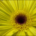 Gerbera Petals by phil_howcroft