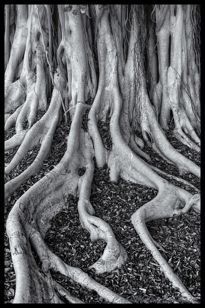 Banyan Tree Black and White by jgpittenger