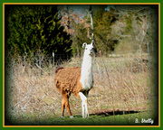 20th Feb 2013 - Scraggy Llama