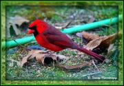24th Feb 2013 - Male Cardinal