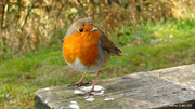 14th Mar 2013 - Plump Robin.