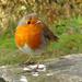 Plump Robin. by darrenboyj