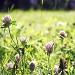 Kløverblomst  by lily
