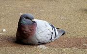 15th Mar 2013 - Sitting pigeon