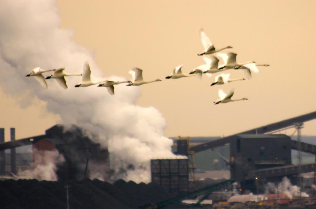 Swan Flight by landownunder