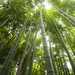 In the bamboo grove by lily
