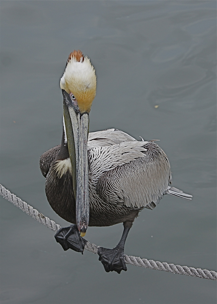 Pelican Balancing on Anchor Line by rob257