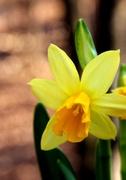 11th Mar 2013 - Daffodil