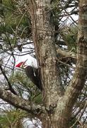 18th Mar 2013 - Piliated Woodpecker