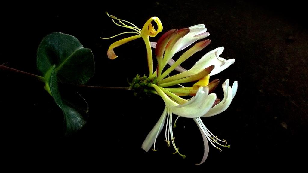 Shakespeare's wild flower by maggiemae