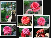 11th Aug 2010 - LIFE SPAN OF A ROSE