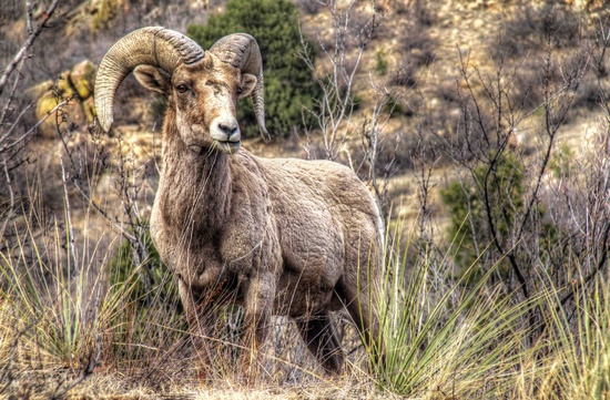 Rocky Mountain Bighorn Sheep by exposure4u