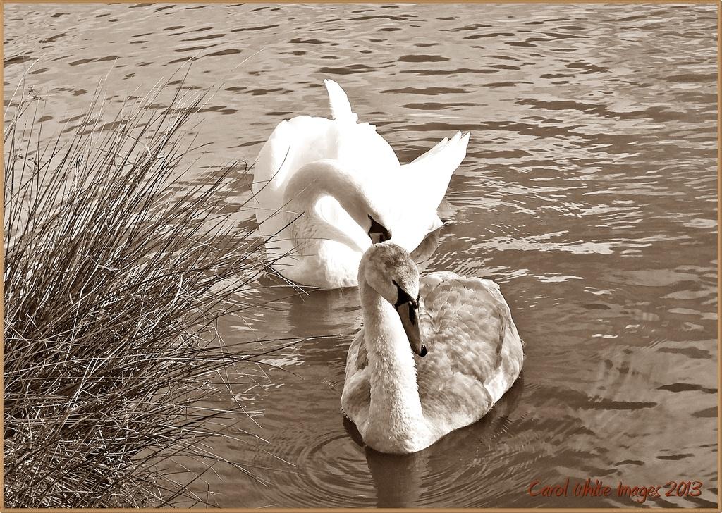 Swans in Sepia by carolmw