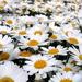 Pushing up Daisies by pasadenarose