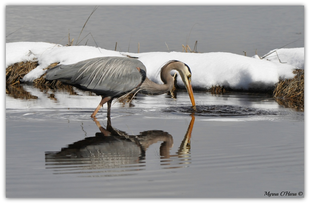 """""""Water"""" - mar2013        Heron's lunch by sailingmusic"""