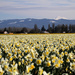 Daffodil Fields by whiteswan