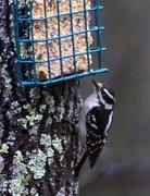 22nd Mar 2013 - Downy Woodpecker