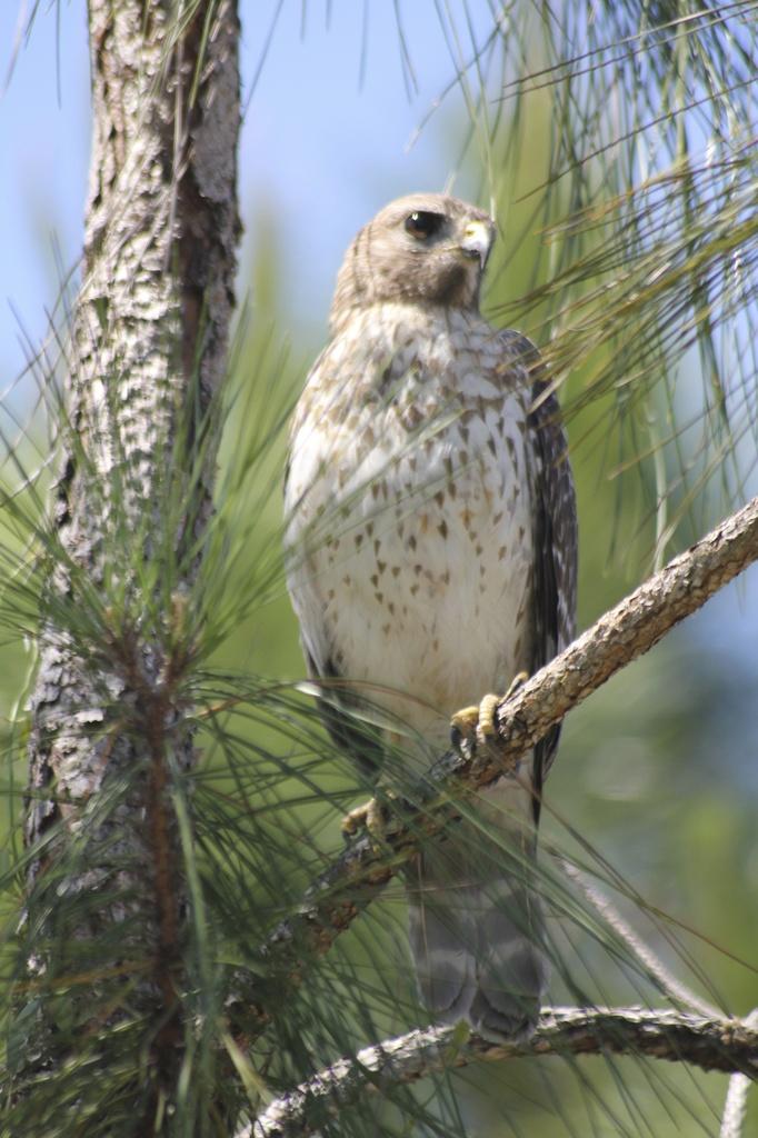 Broad Winged Hawk by landownunder